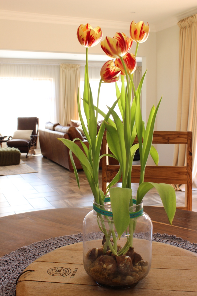 Tulips in a glass vase.  Brightens up the diningroom/livingroom.